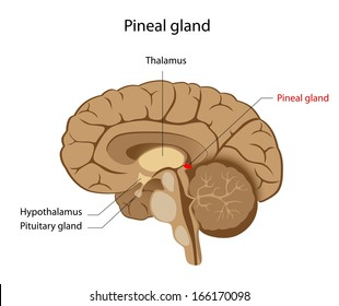 Pineal gland labeled diagram