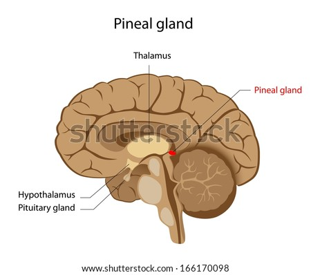 Pineal Gland Labeled Diagram Stock Illustration 166170098 Shutterstock