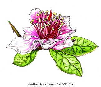 Pineapple Guava pink exotic flower in blossom. Hand drawn decorative watercolor tropical flower isolated on white background. Botanical illustration for wedding print, card, invitation. Brazil, Asia.
