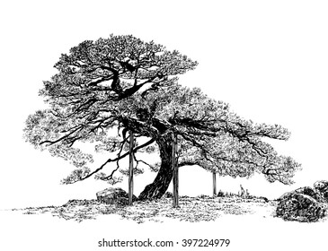 Pine-tree. Black and white dashed style sketch, line art, drawing with pen and ink. Retro vintage picture.
