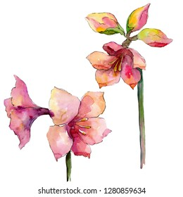 Pink amaryllis floral botanical flower. Wild spring leaf wildflower isolated. Watercolor background illustration set. Watercolour drawing fashion aquarelle. Isolated amaryllis illustration element.