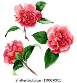 Pink camelia floral botanical flowers. Wild spring leaf wildflower isolated. Watercolor background illustration set. Watercolour drawing fashion aquarelle. Isolated camelia illustration element.