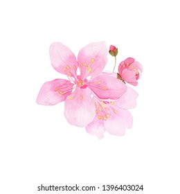 Pink cherry blossoms , watercolor painting, botanical illustration.