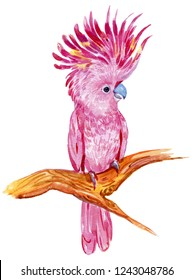Pink cockatoos, exotic birds.watercolor hand painting on isolated white background