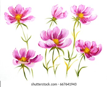 Pink cosmos flowers. Oil painting on Canvas. Isolated on white background
