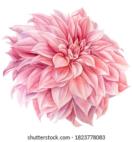 Pink dahlia flower isolated white background, watercolor botanical painting, delicate flowers
