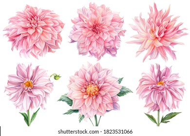Pink dahlias isolated white background, watercolor botanical painting, delicate flowers