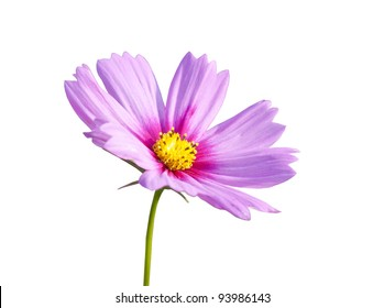 Pink daisy flowers on the background