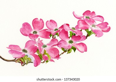 Pink dogwood flowers images stock photos vectors shutterstock pink dogwood ii pink dogwood blossoms horizontal design watercolor painting mightylinksfo