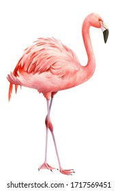 Pink flamingo on an isolated white background, watercolor illustration