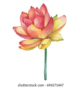 Pink flowers Egyptian lotus (water lily,). Watercolor hand drawn painting illustration isolated on white background.