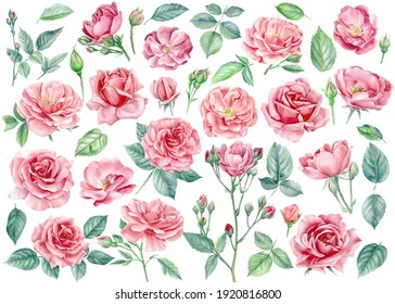 Pink flowers. Roses, buds and leaves on a white background, watercolor illustration, floral clipart