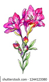 Pink freesia flowers blossom. Hand drawn decorative watercolor exotic tropical bouquet isolated on white background. Botanical illustration for wedding print card, invitation. Japanese style. Vintage