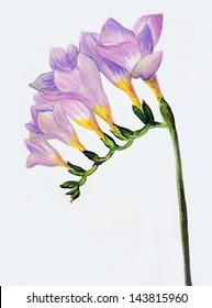 Pink fressia.Watercolor illustration