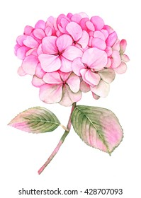 Pink Hydrangea botanical watercolor illustration