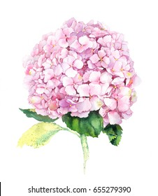 Pink hydrangea flower. Watercolor.