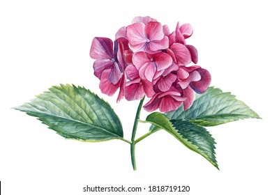 Pink Hydrangea flowers, isolated white background. Watercolor botanical illustration