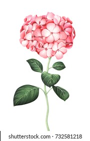 Pink hydrangea isolated on white background. Hand drawn watercolor illustration.