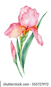 pink iris. illustration watercolor iris. flower isolated on white background.