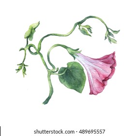 Pink Morning Glory (Field Bindweed, Convolvulus arvensis) flowers. Hand drawn watercolor botanical illustration.
