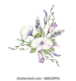 Pink Morning Glory Field Bindweed, Convolvulus arvensis flowers. Hand drawn watercolor botanical illustration.