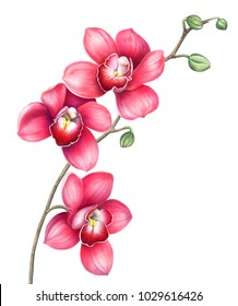 Pink orchid branch isolated on white background. Watercolor hand drawn illustration.