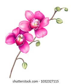 Pink orchid flowers isolated on white background. Watercolor hand drawn illustration.
