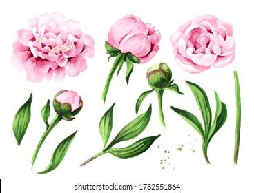 Jeu de fleurs de pivoine rose. Illustration à l'aquarelle dessinée à la main, isolée sur fond blanc