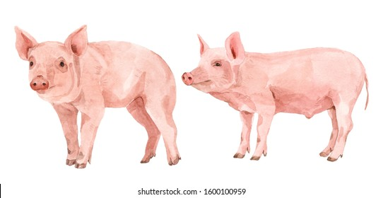 Pink pigs watercolor illustration paint. White isolated background