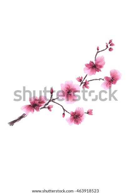 Pink plum / Watercolor painting. Blossoming spring branch on a background white. Isolated.