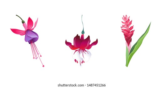 Pink and Purple Fuchsia Bella. Red Fuchsia. Red and Pink Ginger. Illustration. Isolated illustration element. Floral botanical flower. Wild leaf wildflower isolated. Exotic tropical hawaiian jungle.