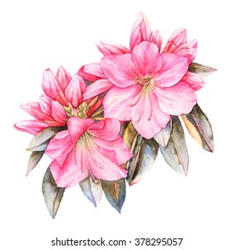 Pink Rhododendron watercolor illustration