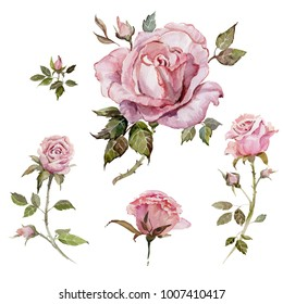 Pink rose flower on a twig. Floral set (flowers, buds, twigs with thorns  and leaves). Isolated on white background.  Watercolor painting. Hand drawn.