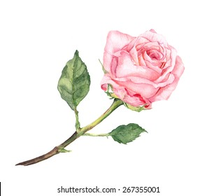 Pink rose flower. Watercolor