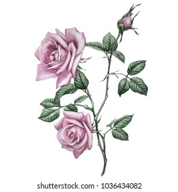 pink roses. botanical illustration. this picture can be used as background, decoration or object