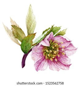 Pink single hellebore flower in the full bloom with green leaves watercolor illustration. Beautiful tender spring and winter blooming helleborus flower. Isolated on white background.