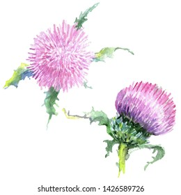 6650f890b Isolated thistle illustration element. Pink thistle floral botanical flowers.  Wild spring leaf wildflower. Watercolor background illustration set.