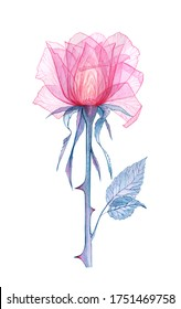 Pink transparent rose, x-ray of the rose flower, delicate flower Bud, petals and pistils, hand-drawn watercolor spring flowers, Botanical drawing of the flower structure isolated on a white background