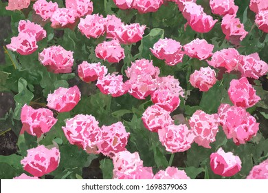 Pink tulip flowers in garden.Watercolor flower field painting illustration for background design