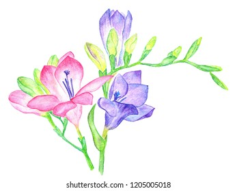 Pink and violet freesia flowers in a beautiful composition isolated on white background watercolor pencils illustration. Fresh pink and purple blue freesias branches with buds. Blossom flowers bouquet