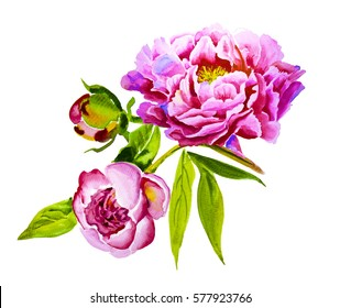 Pink, violet peony watercolor, bud