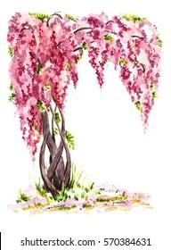 The pink wisteria vine. Hand drawn watercolor illustration
