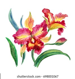 Pink and yellow orchid, watercolor isolated on a white background. Cattleya orchid, decorative painting watercolor.