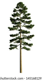 Pinus Ponderosa. Isolated on white. 3D Illustration