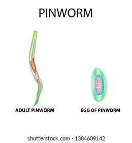 Tud pinworms, Bútorok és edények kezelése férgek felderítésekor Pinworms latin nyelven