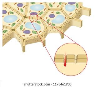 Plant cell. Plasmodesmata