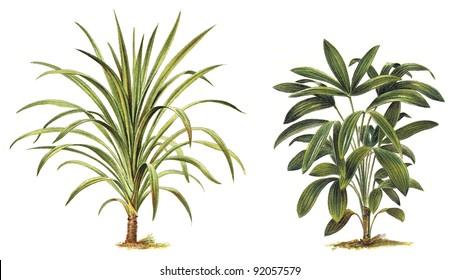 Plant - Dracaena nutans (left) - Rhapis flabelliformis (right) / Vintage illustration from Meyers Konversations-Lexikon 1897