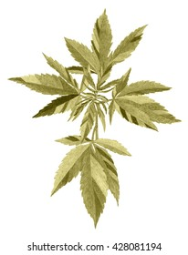 Plant - industrial hemp - cannabis - hand drawing