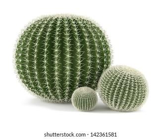 Plant isolated. Echinocactus grusonii