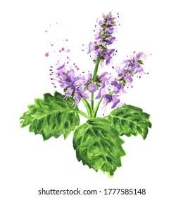 Plante patchouli ou branche de bois de Pogostemon avec fleurs et feuilles, illustration à l'aquarelle dessinée à La Main isolée sur fond blanc